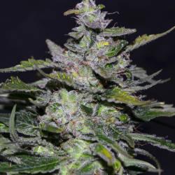 Blueberry 99
