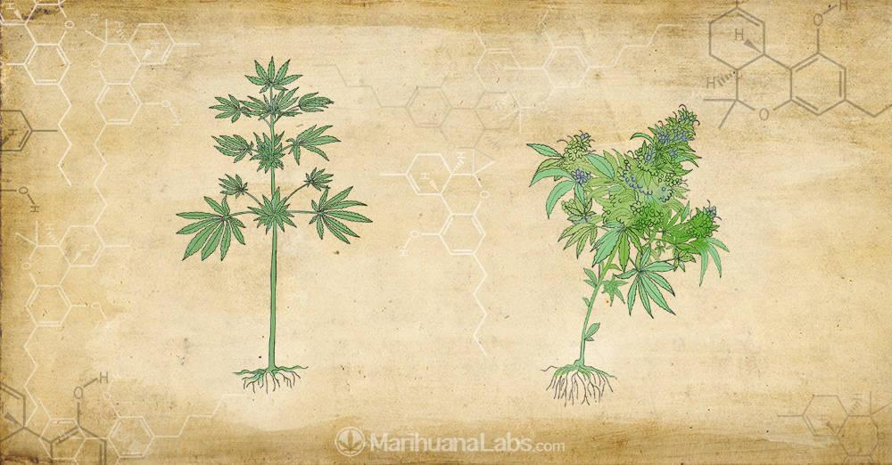 Cannabis, marijuana and hemp. Is it the same?