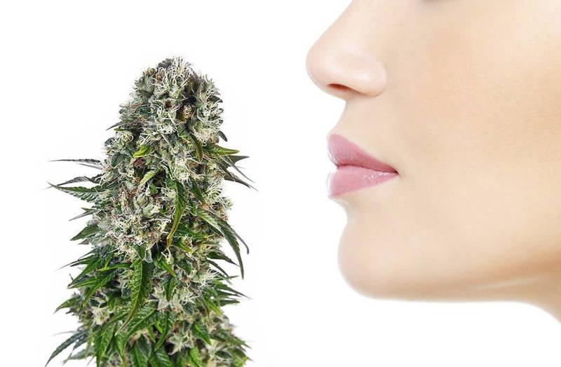 ¿Qué contiene la marihuana? Parte 2: Terpenos y terpenoides